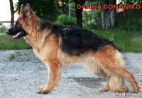 German Shepherd Dog Don Kairos