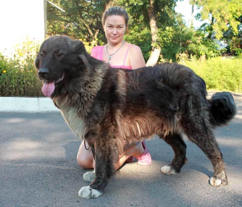 Don Kairos Leya Caucasian Shepherd Dog