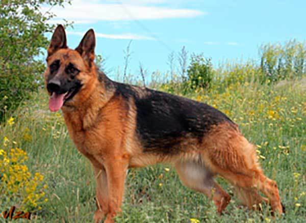 Don Kayros Amira Miranda German Shepherd