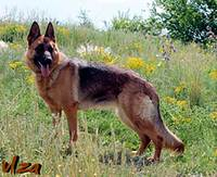 DON KAYROS TETRA German Shepherd