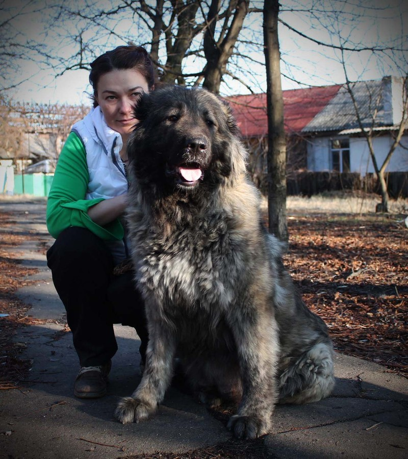 Caucasian Shepherd Dog Don Kairos
